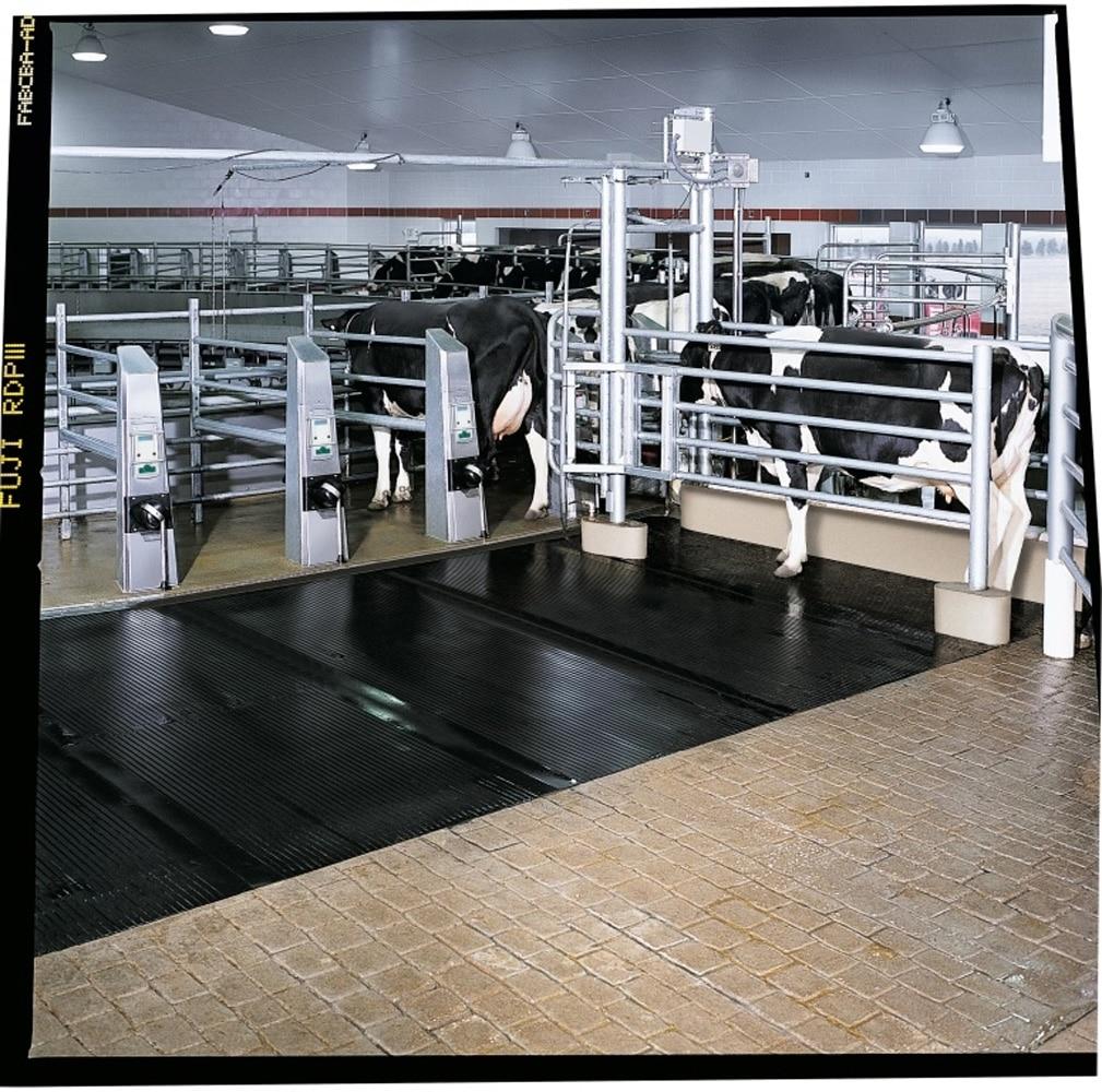Køer føres ind i magnum 90 malkekarrusel